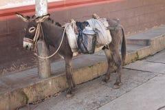 Burro som binds till en Pole i Peru Arkivbilder