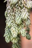 Burro Tail Sedum Royalty Free Stock Photography