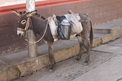 Burro Tied to a Pole in Peru Stock Images