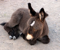 Burro is too young for carrots Royalty Free Stock Photography