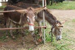 Burro w kraju gospodarstwie rolnym obrazy stock