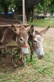 Burro w kraju gospodarstwie rolnym fotografia royalty free
