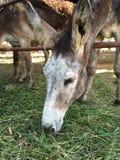 Burro w kraju gospodarstwie rolnym zdjęcie stock