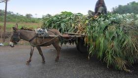 Burro y el maíz Fotografía de archivo libre de regalías