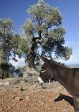 Burro y olivo Imagenes de archivo