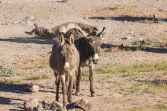 burros Аризоны одичалые Стоковое Изображение