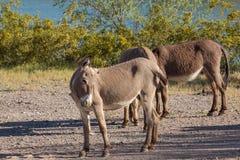 burros Аризоны одичалые Стоковое фото RF
