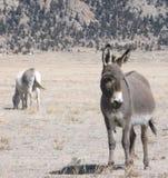 Burros около южного парка Стоковая Фотография RF
