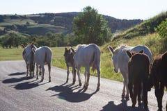 burros одичалые Стоковая Фотография