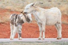 burros одичалые Стоковые Фото