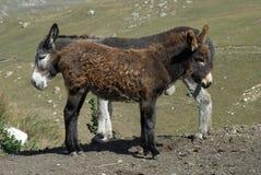 burros стоя 2 Стоковые Изображения RF