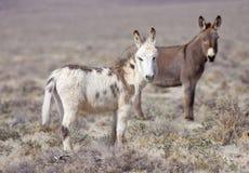 burros 2 одичалые Стоковые Изображения