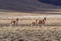 Burros alpinos salvajes: la familia de animales, dos adultos y dos bebés que caminan reservado a lo largo de las altas montañas p Fotos de archivo libres de regalías
