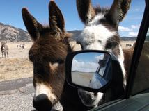 Burros at Car Window Stock Image