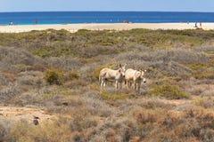 Burros cerca de la playa en Morro Jable, islas Canarias de Fuerteventura Fotografía de archivo libre de regalías