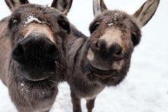 Burros curiosos en la nieve Imagen de archivo libre de regalías