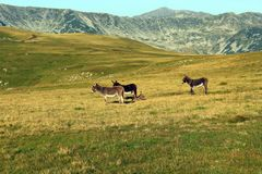 Burros en la montaña foto de archivo libre de regalías