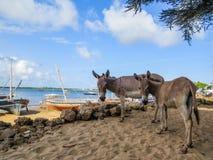 Burros en la playa de Shela Imagenes de archivo