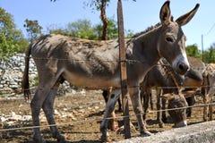 Burros en la yarda, Montenegro fotos de archivo libres de regalías