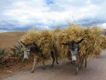 Burros en Perú rural Foto de archivo libre de regalías