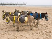 Burros en una playa Foto de archivo libre de regalías