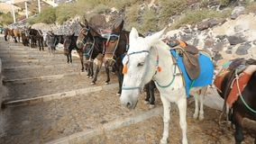 Burros equipados que se colocan en línea a lo largo del camino, atracción turística de los animales que monta metrajes