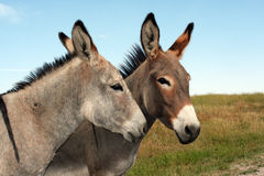 Burros in het Park van de Staat Custer stock fotografie