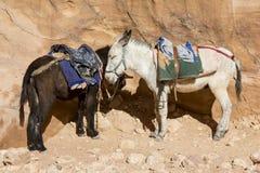 Burros que esperan al turista en la ciudad antigua del Petra Imagenes de archivo