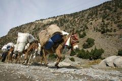 Burros que llevan las cargas pesadas, annapurna Imagenes de archivo