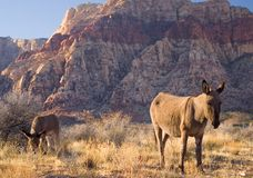Burros sauvages Image stock
