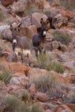 Burros sauvages Photos libres de droits