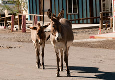 Burros sauvages dans Oatman, Arizona photo libre de droits