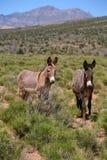 Burros selvaggi del canyon rosso della roccia Fotografia Stock Libera da Diritti