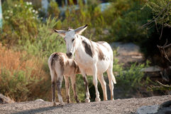 Burros selvaggi in Oatman, Arizona Immagine Stock Libera da Diritti