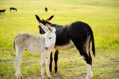 burros två royaltyfri foto