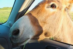 Burrow In Car Window. Burro up close and personal, head through the car window Royalty Free Stock Images
