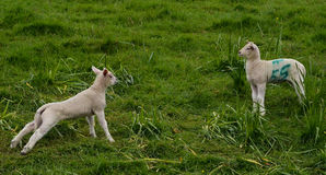 Burrow Hill Lambs, Somerset Stock Photography