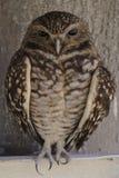 Burrow Owl Royalty Free Stock Photo