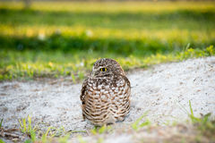 Burrow owl. In sand stock images