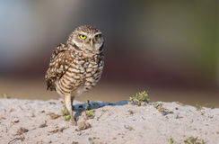 Burrowin Owl Royalty Free Stock Photography