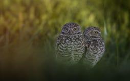 burrowing ζευγάρι κουκουβαγι στοκ εικόνες