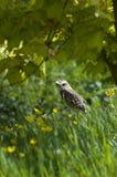 burrowing κουκουβάγια Στοκ Φωτογραφίες