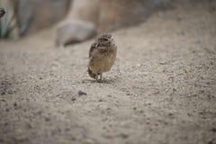 burrowing κουκουβάγια Στοκ εικόνα με δικαίωμα ελεύθερης χρήσης