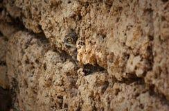 burrowing κουκουβάγια Στοκ Εικόνες