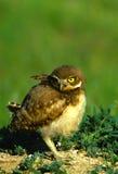 burrowing сыч зелёного юнца Стоковое Изображение