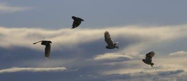 Burrowing сыч (cunicularia Speotyto) Silhouetted в полете снова Стоковое Фото