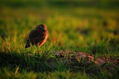 Burrowing a coruja, cunicularia do Athene, pássaro de noite com o sol bonito da noite, animal no habitat da natureza, Mato Grosso Fotos de Stock