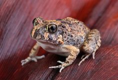 Burrowing frog. Ornate Burrowing frog - Platyplectrum ornatum - sitting on a fallen red palm leaf frond Royalty Free Stock Photo