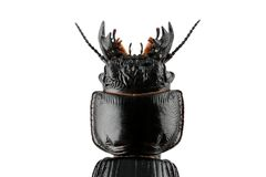 Burrowing ground beetle Royalty Free Stock Photography