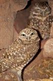Burrowing i gufi (cunicularia del Athene) in Arizona Fotografie Stock Libere da Diritti
